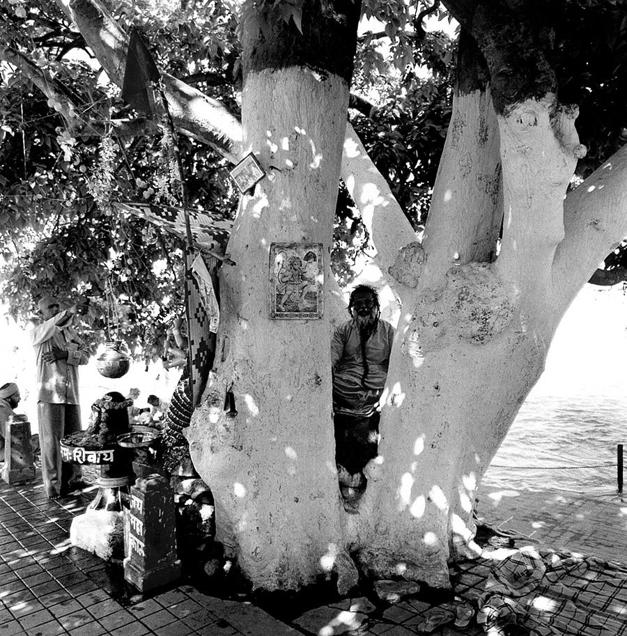 Indian sacred trees decorated with white painted rings.
